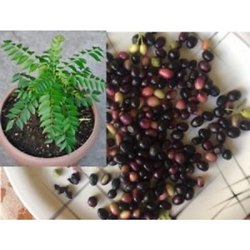 Black Natural Cury Leaf Seeds, Packaging Type: Bag, Packaging Size: 5 Kg