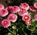 Green World Daisy  Bellis Monstrosa Dbl Mix Seeds