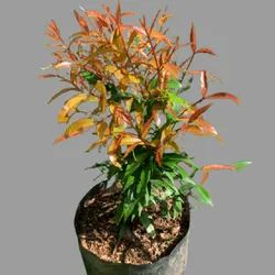 Well Watered Eugenia Plant, For Plantation Purposes