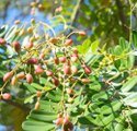 Green World Simarouba Glauca / Lakshmi Taru / Paradise Tree Seeds For Farming  &  Gardening