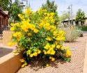 Green World Tecoma Argentina / Trumpet Bush Tree Seeds For Farming  &  Gardening