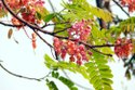 Green World Cassia Grandis / Pink Shower Tree Seeds For Farming  &  Gardening( 10 Seeds )
