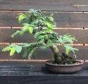 Green World Imli Ke Beej / Tamarind Seeds  For Farming & Bonsai Gardening( 10 Seeds )