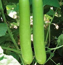 Green vegetables- cucumber and bottlegourd/lauki, Packaging Size: 15 kg
