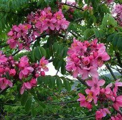 Green World Cassia Nodosa Tree Seeds For Farming  &  Gardening