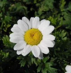 Green World Chrysanthemum Paludosum Seeds (50 Seeds)