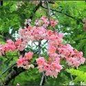 Green World Cassia Javanica / Apple Blossom Tree Seeds For Farming  &  Gardening( 10 Seeds )
