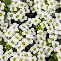 Green World Alyssum Sweet White Seeds