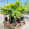 Green World Christmas Palm / Adonidia Merrillii/ Manila Palm Ornamental Tree Seeds
