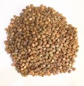 Green World Cassia Spectabilis Seeds / Golden Shower Seeds / Senna Spectailis Tree Seeds