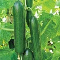Hybrid Cucumber Seeds, Packaging Type: Plastic Bag, Packaging Size: 1KG