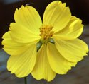 Green World Cosmos Sulphureus Bright Light Cosmos Bright Light Seeds(50 Seeds)