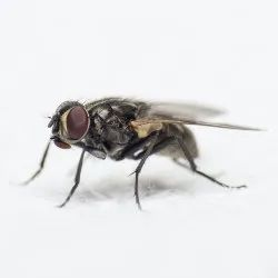 House Flies Control Services, in India