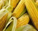Green World Baby Corn F1 Hybrid Seeds( 50 Seeds)