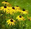 Green World Rudbeckia Seeds(50 seeds)