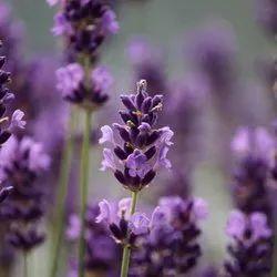 Green World Lavender Herb Seeds(50 seeds)