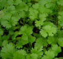 Green World Coriander (Imported) Green-Dhaniya Seeds