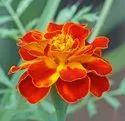 Green World Marigold Petula Orange Seeds(50 Seeds)