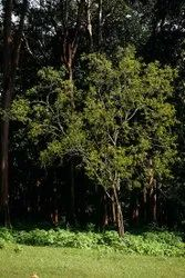 Green World White Sandalwood Seeds
