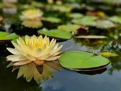 Water Lily Oil