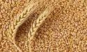 Paras Organic Wheat Hybrid Seeds, Packaging Type: Pp Bag, Packaging Size: 1 Kg, 5 Kg