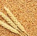 GREEN WORLD Tejas Hi  8759 Wheat Seeds For Farming Or Agriculture
