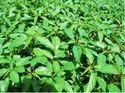 Molokhia / Jute Seeds