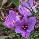 GREEN WORLD Saffron Crocus Flower Plant Kashmiri Saffron Bulb/kesar/zafran/crocus Corm