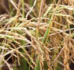 Green World Basmati 1718 Pack Paddy Seeds