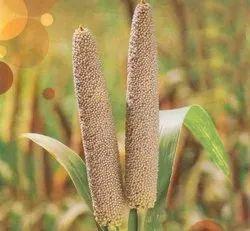 GREEN WORLD Hybrid Bajra/Pearl Millet Seeds For Farming Or Agriculture