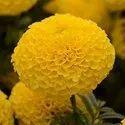 Dried Marigold Flower