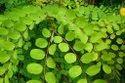 Green World Red Sandalwood Plant Seeds