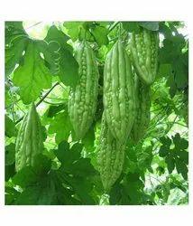 Green World Bitter Gourd F1 Spartan Seeds(50 seeds)