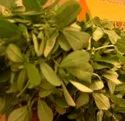 Green World Fenugreek Methi Kasturi Seeds(50 Seeds)