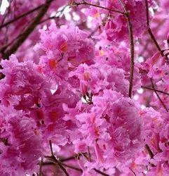 Green World Tabebuia Avalanda / Pink Tabebuia / Deep Pink Tahebuia Tree Seeds