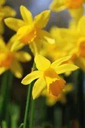 Narcissus Oil