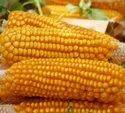 Green World Sweet Corn F1 Hybrid Seeds(50 Seeds)