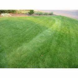 Natural Green Square Korean Lawn Grass, For Design Purpose