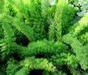Asparagus Mayeri Plant