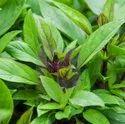 GREEN WORLD Basil Seeds(50 Seeds)