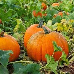 Green World Pumpkin F1 Hybrid  Seeds(50 Seeds)