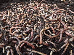 Organic Mixed Earthworm
