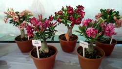 Slow Growth Mix Color Double Grafted Bonsai Desert Rose Adenium Plants, For Decoration, Summer Bloom