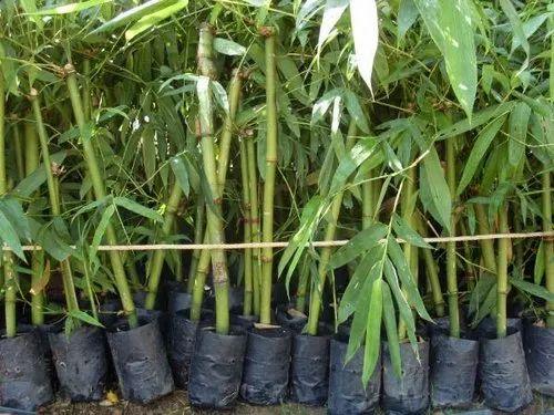 Bambusa Vulgaris Plant