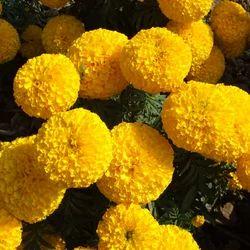 Gold Marigold Seed