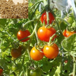 Organic Red Tomatoes Seeds