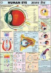 Human Eye For Human Physiology chart