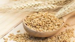 KGCPL Brown Human Consumption And Animal Feed Barley Seeds