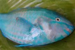 Red Parrot Fish, 9 Years, Packaging Type: Box