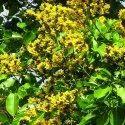 Pterocarpus Marsupium Extracts